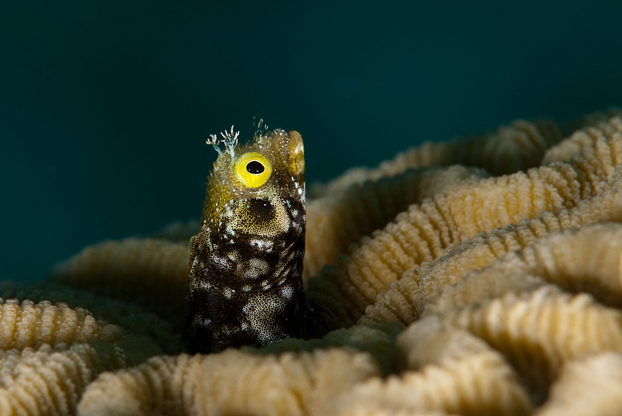 Blenny in a hole