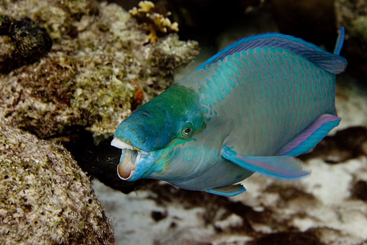 Queen parrotfish (Scarus vetula), male