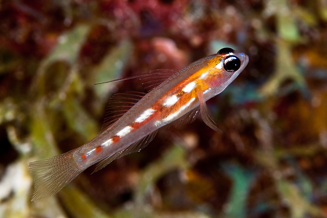 Masked goby (Coryphopterus personatus)