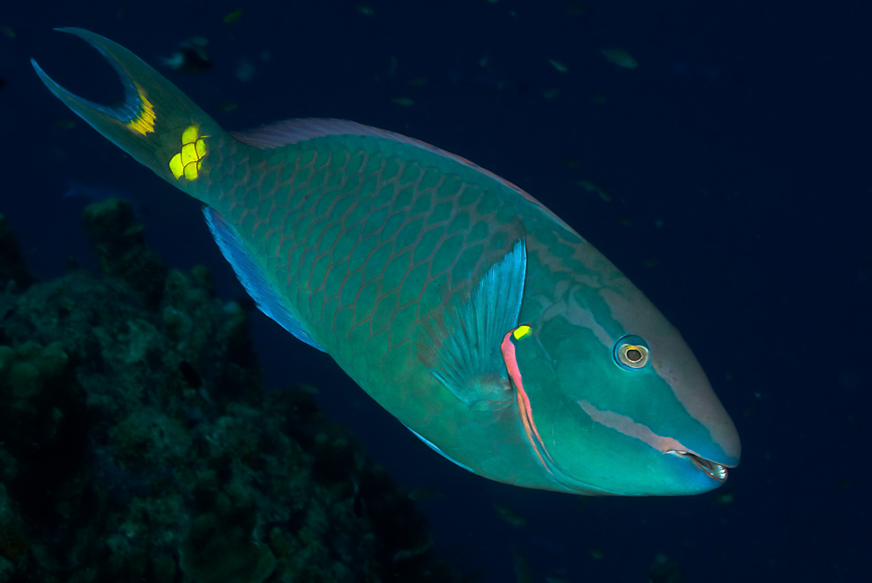 Stoplight parrotfish (Sparisoma viride), male