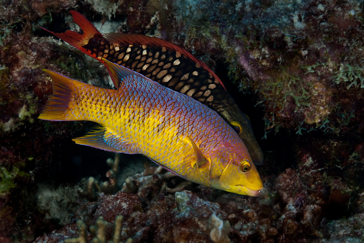 Spanish hogfish (Bodianus rufus) with female stoplight parrotfish behind