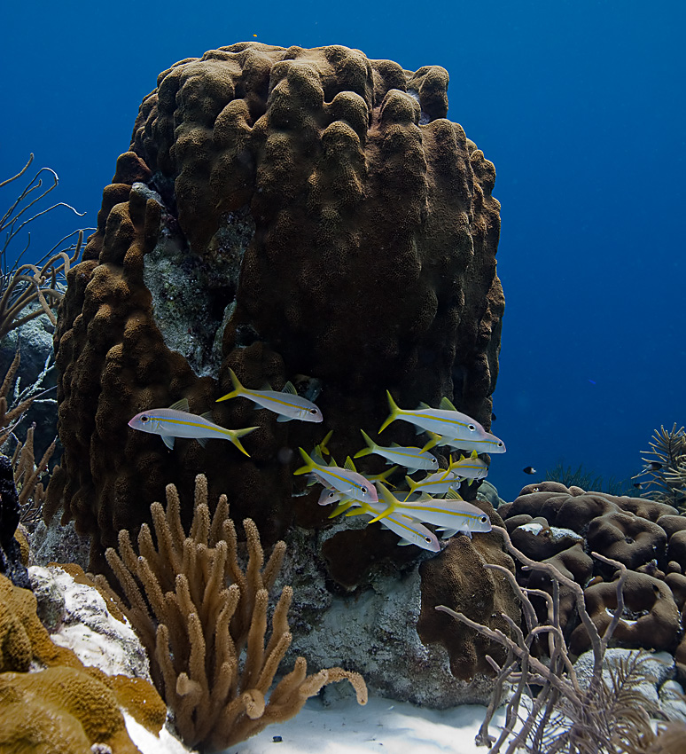 Yellow goatfish (Mulloidichthys martinicus)