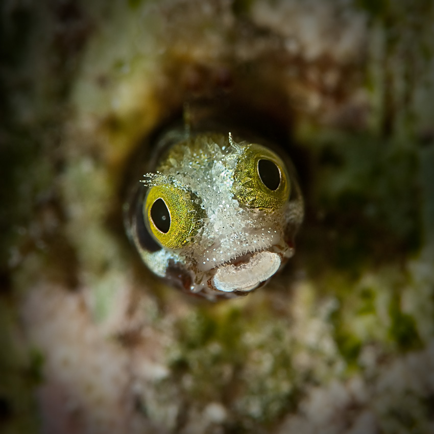 A Secretary blenny (Acanthemblemaria maria) peering from it's tube