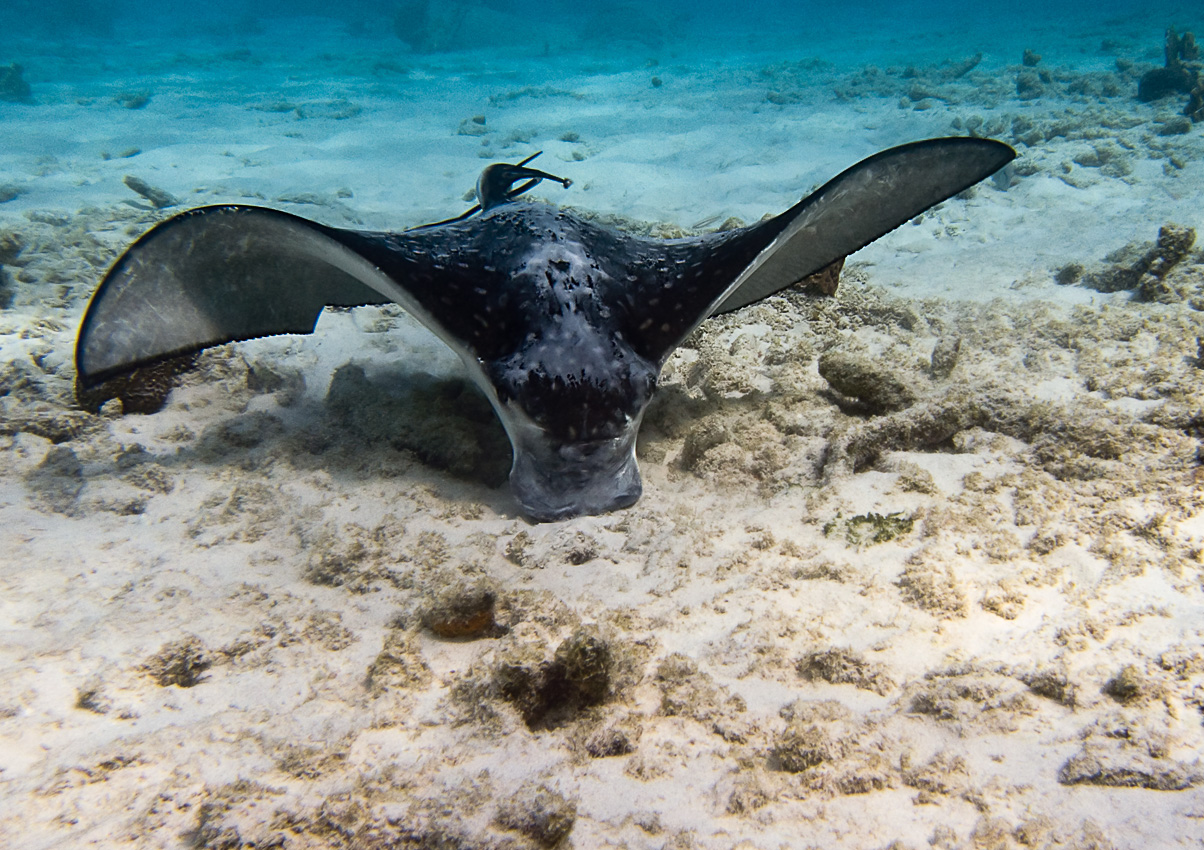 Spotted eagle ray (Aetobatus narinari)