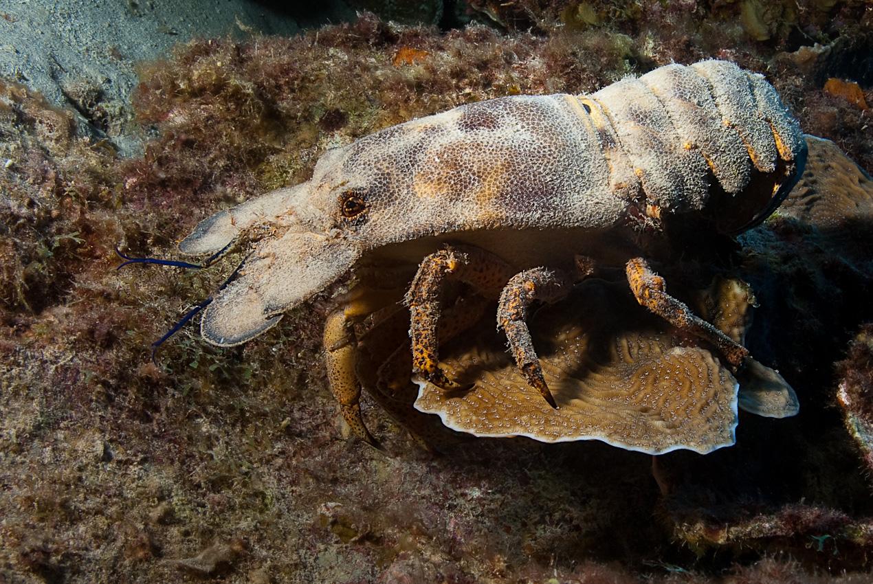 Spanish slipper lobster (Scyllarides aequinoctialis)