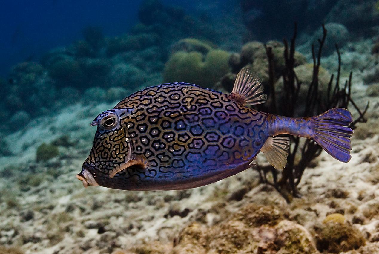 Honeycomb cowfish (Acanthostracion polygonius)