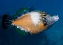 Vitfläckig filfisk (Cantherhines macrocerus)