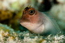 Gray variation of the Redlip Blenny (Ophioblennius atlanticus)