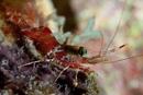 Röd natträka (Cinetorhynchus manningi)