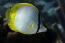 Ögonfläckad fjärilsfisk (Chaetodon ocellatus)