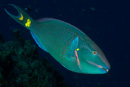 Stoplight parrotfish (Sparisoma viride), male