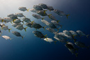Hästögd jackfisk (Caranx latus)