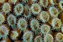 coral polyps