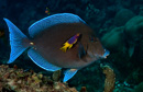 Blue tang (Acanthurus coeruleus) being cleaned by pair of juvenile Spanish hogfish