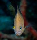 Threespot damselfish (Stegastes planifrons)