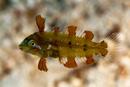 juvenil Green Razorfish (Xyrichtys splendens)