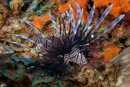 Lionfish (Pterois sp). A foreign species to the Caribbean.