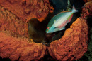 Redband parrotfish (Sparisoma aurofrenatum), male