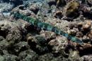 Bluespotted cornetfish (Fistularia tabacaria)