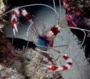 Banded boxer shrimp (Stenopus hispidus)