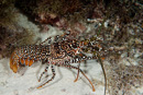 Spotted spiny lobster (Panulirus guttatus)