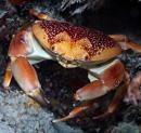 Korallkrabba (Carpilius corallinus)