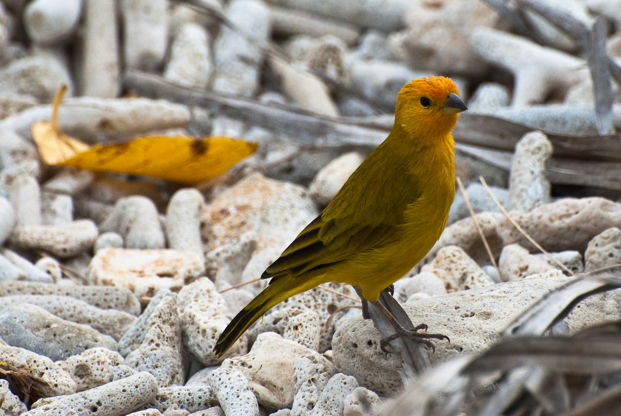 a golden-colored weaver