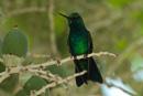 Blåstjärtad smaragd  (Chlorostilbon mellisugus)