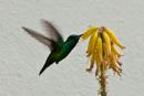 Allmän smaragdkollibri  (Chlorostilbon melisugu)