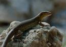 Bonairean Whiptail Lizard (Cnemidophorus murinus ruthveni)