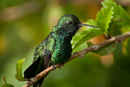 Common Emerald Hummingbird (Chlorostilbon melisugu)