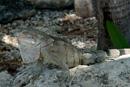 Grön iguana (Iguana iguana)