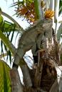 Grön leguan (Iguana iguana)