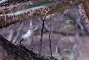 Tropisk härmtrast (Mimus gilvus)
