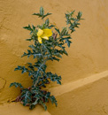 spike-leaved herb with yellow flower