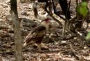 Southern crested caracara (Caracara plancus)