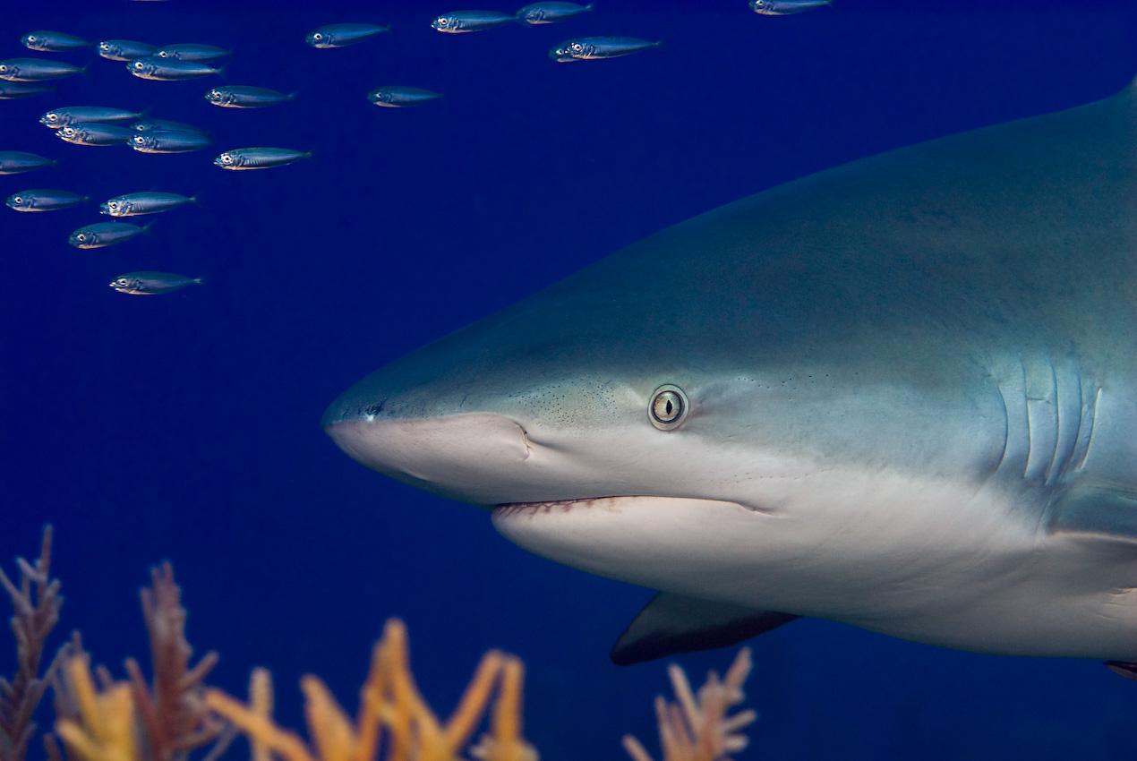 Karibisk revhaj (Carcharhinus perezi)