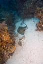 Sydlig stingrocka (Dasyatis americana)