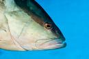 Nassau-havsabborre(Epinephelus striatus)