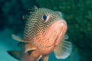 Rödfläckig havsabborre  (Epinephelus guttatus)