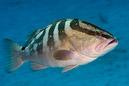 Nassau grouper (Epinephelus striatus)
