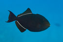 Black durgeon (Melichthys niger)