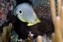 Fyrögonfjärilsfisk (Chaetodon capistratus)