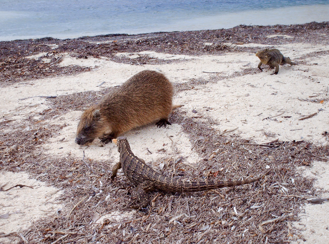 The Cuban jutia tree rat (Capromys pilorides) is an indigenous rodent, here competing with iguanas