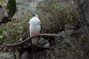Red-footed booby (Sula sula webestri)
