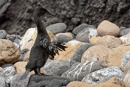 Flightless Cormorant (Phalacrocorax harrisi)