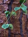 Galapagos passion flower fruit (Passiflora foetida galapagensis)