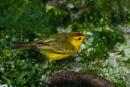 Yellow warbler (Dendroica petechia aureola)