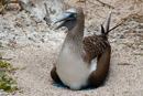 Blue-footed booby (Sula nebouxii excisa) with egg