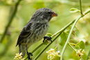 One of 13 species of Darwin's finches